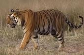 Tigre dans la savane
